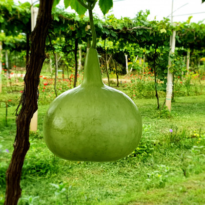 Tykev - Lagenaria siceraria - semena tykve - 8 ks