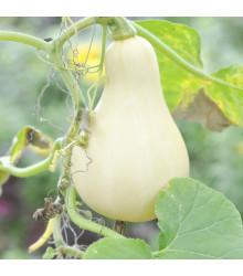 Bio tykev muškátová - Bio Butterscotch - prodej bio semen - 5 ks