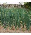 Cibule zimní - Česnek ošlejch - Allium fistulosum - prodej semen cibule - 120 ks