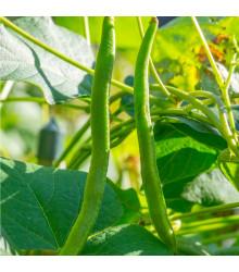Fazol Enorma - Phaseolus coccineus - osivo fazole - 20 ks