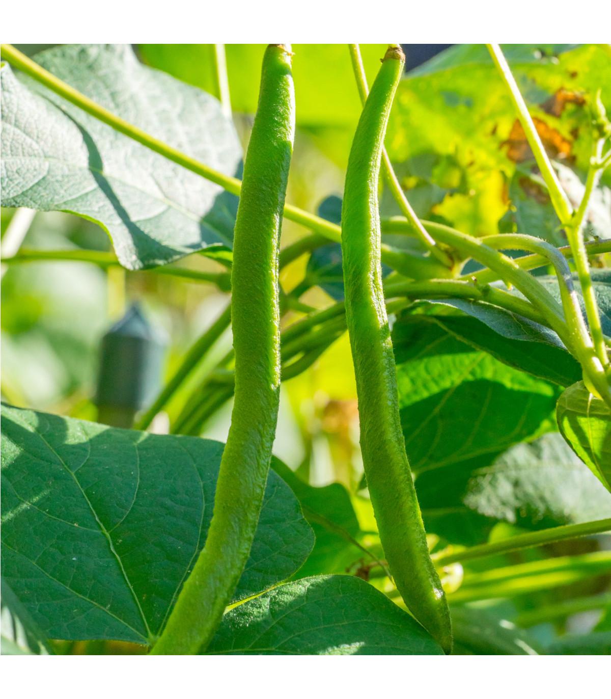 Fazole pnoucí- Phaseolus vulgaris- semena Fazole- 15 ks