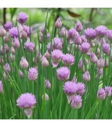Pažitka pobřežní Splendidus- Allium schoenoprassum - semena pažitky - 200 ks