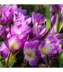 Ocún Lilac Wonder - Colchicum - cibule ocúnu - 1 ks