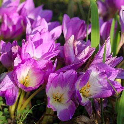 Ocún Lilac Wonder - Colchicum - hlízy ocúnu - 1 ks