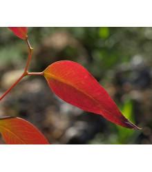 Eukalyptus Kampanulata- semena- 7 ks