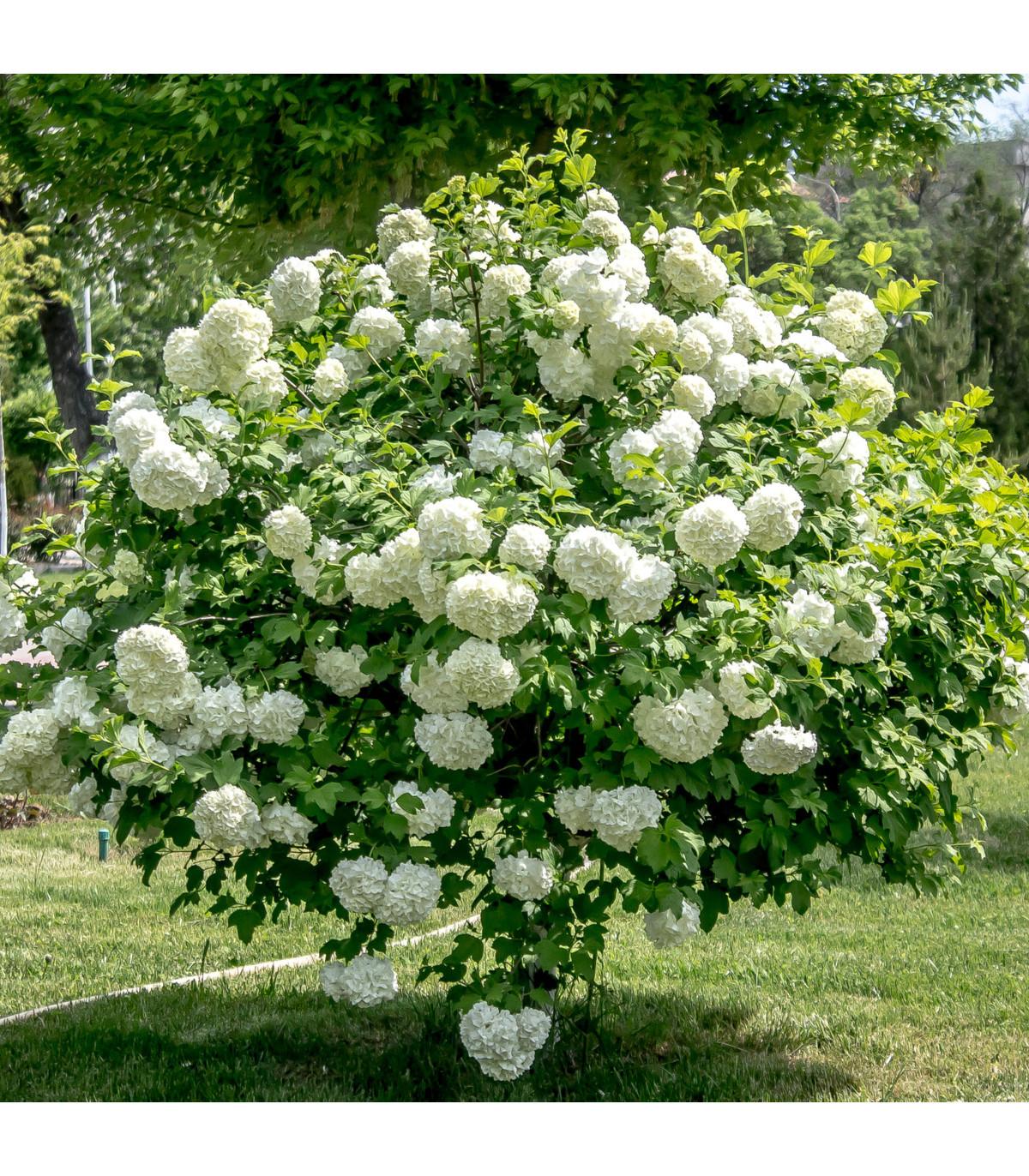 Kalina obecná - Viburnum opulus - semena - 5 ks