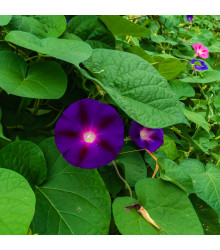 Povíjnice nachová Kniolas Black - Ipomoea purpurea - osivo povíjnice - 20 ks