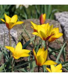 Tulipán Clusiana Chrysantha - Tulipa - holandské cibule tulipánů - 3 ks
