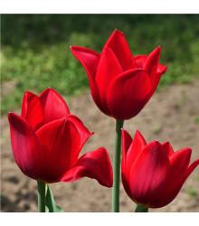 Tulipán Kingsblood - Tulipa - cibule tulipánů - 3 ks
