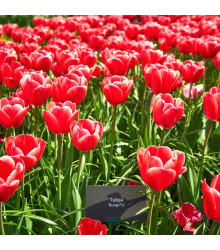 Tulipán Kung Fu - Tulipa - cibule tulipánů - 3 ks