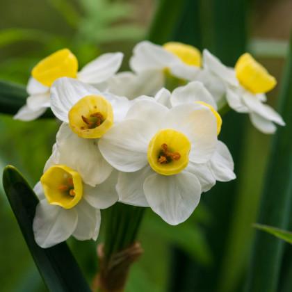 Narcis Avalanche - Narcissus - cibule narcisů - 3 ks