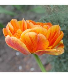 Tulipán Charming lady - Tulipa - cibule tulipánů - 3 ks