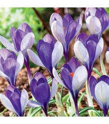 Krokus Yalta - Crocus sativus - cibule krokusů - 3 ks