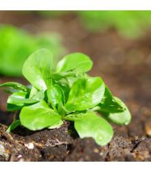 BIO kozlíček polníček Vít - Vallerianella locusta - bio semena polníčku - 100 ks