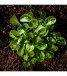 BIO kozlíček polní Elan - Vallerianella locusta - bio semena polníčku - 100 ks