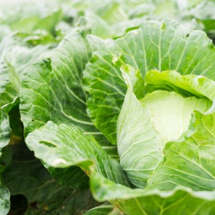 BIO Zelí bílé Filderkraut - Brassica Oleracea - bio semena zelí - 50 ks
