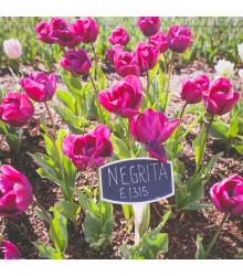 Tulipán Negrita - Tulipa - cibule tulipánů - 3 ks