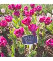Tulipán Negrita - prodej cibulovin - holandské tulipány - 3 ks