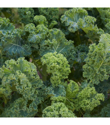 BIO kadeřávek Lerchenzungen - Brassica oleracea L. - bio semena kadeřávku - 150 ks