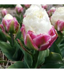 Tulipán Ice Cream - Tulipa - cibule tulipánů - 3 ks