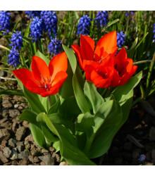 Tulipán vícekvětý - Praestans Fusilier - cibule tulipánů - 3 ks