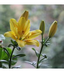 Lilie Fata Morgana - Lilium - cibule lilií - 1 ks
