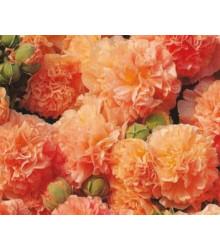 Topolovka plnokvětá oranžová Chaters- Alcea rosea - semena topolovky - 7 ks