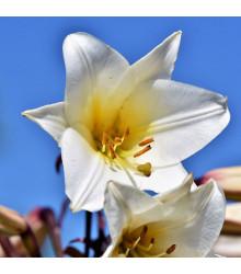 Balíček cibulek lilií - Lilium - cibule lilií - 3 ks