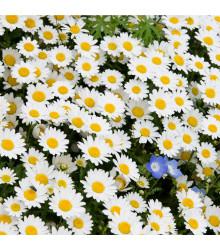 Kopretina balkonová Snowland - Chrysanthemum paludosum - semena - 50 ks