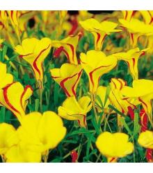 Šťavel dvoubarevný Golden cape - Oxalis - cibule šťavele - 1 ks