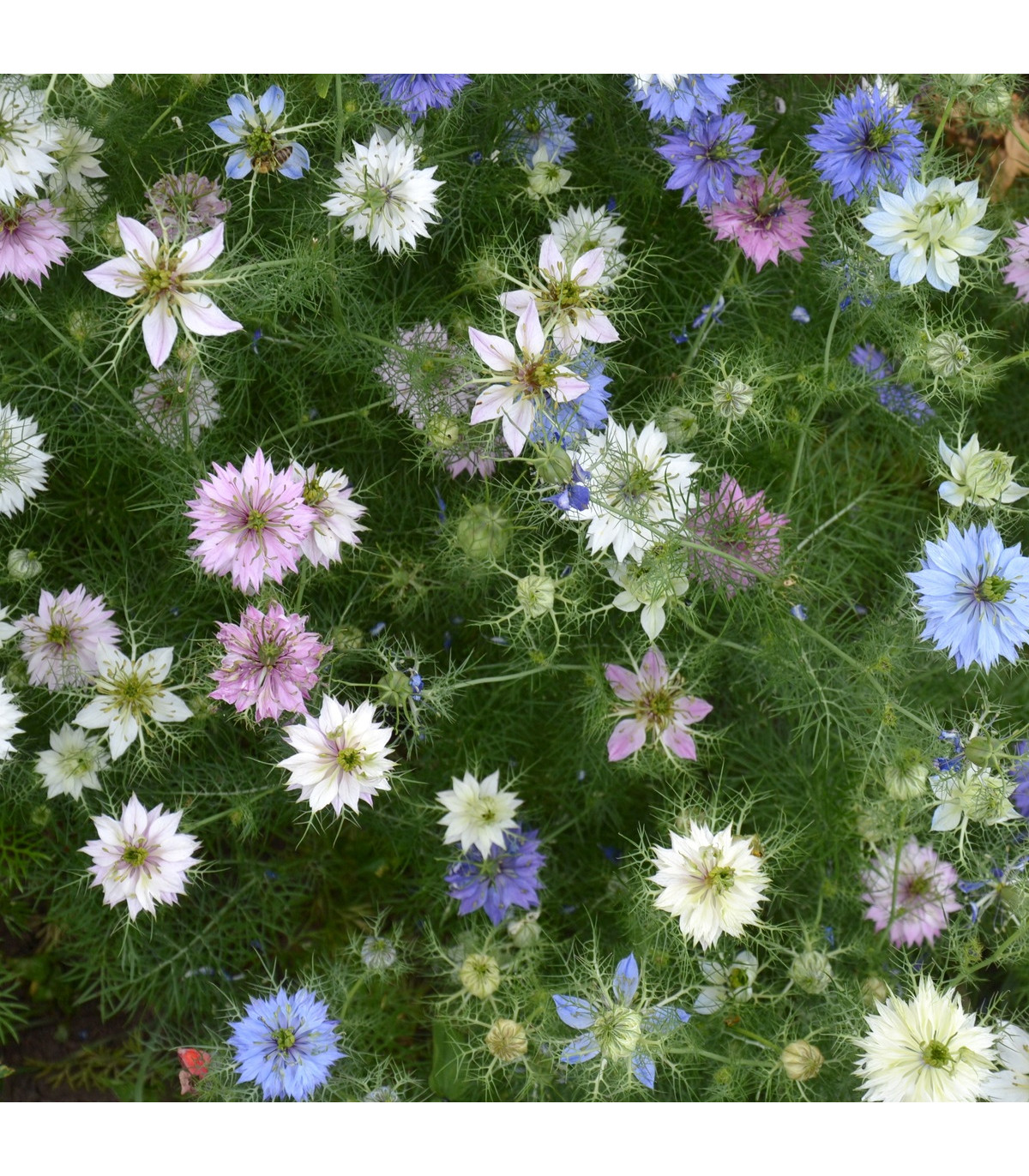 Černucha damašská - rostlina nigella damascena - prodej semen - 25 ks