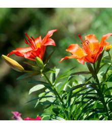 Lilie Linda - Lilium - cibule lilií - 1 ks