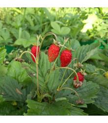 Jahodník lesní Tubby Red - Fragaria vesca - semena jahodníku - 15 ks