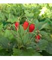 Jahodník lesní - Fragaria vesca - semena jahodníku - 15 ks