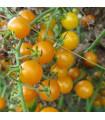 Rajče Sladké Zlato- semena Rajčete- 7 ks