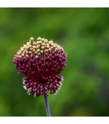 Okrasný česnek cibule - Allium amethystinum  - cibuloviny - 1 ks