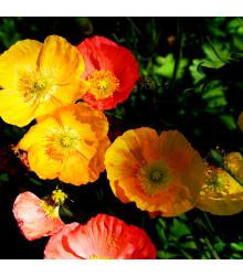 Mák alpínský směs barev - Papaver alpinum - prodej semen - 0,01 gr