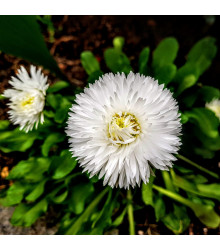 Astra čínská bílá Gaia - Callistephus chinensis - osivo astry - 150 ks