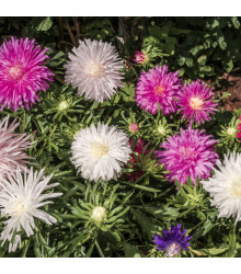Astra čínská jehlicovitá směs - Callistephus chinensis - osivo astry - 150 ks