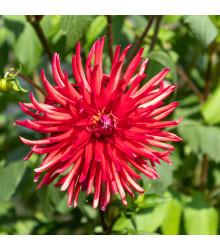 Astra čínská jehlicovitá červená  - Callistephus chinensis - osivo astry - 150 ks