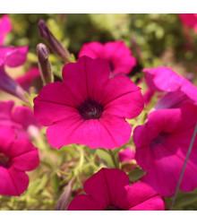 Petúnie Purple Velvet F1 - Petunia hybrida - Surfínie - semena petúnie - 12 ks