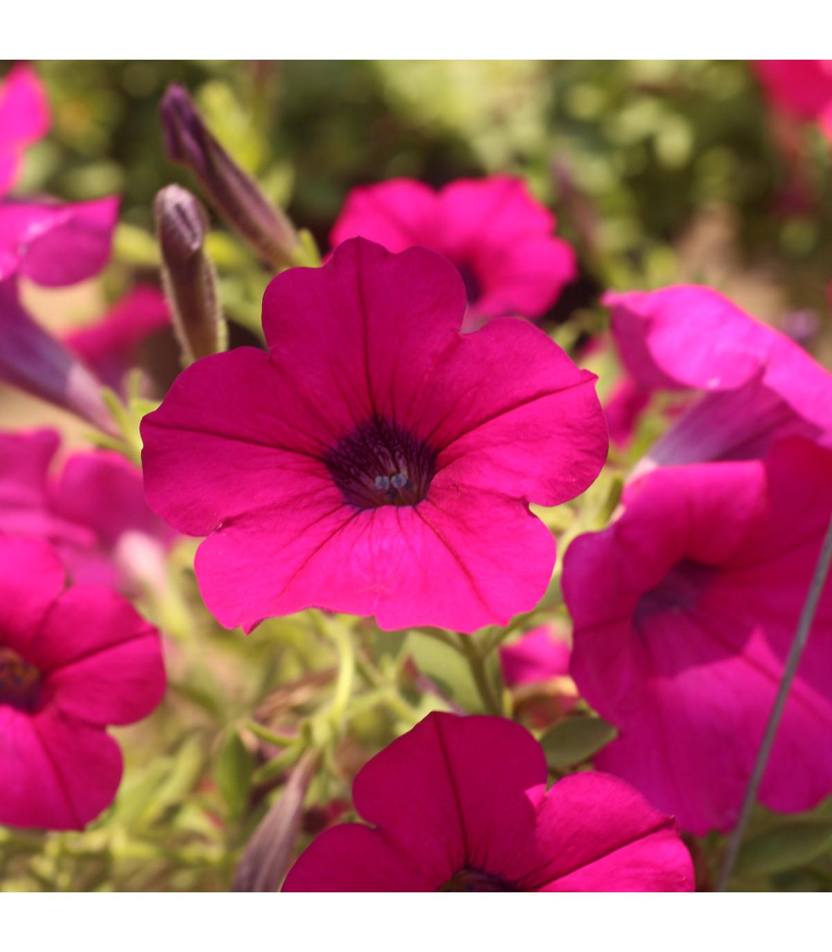 Petúnie převislá Purple Velvet F1 - Petunia hybrida - osivo petúnie - 12 ks