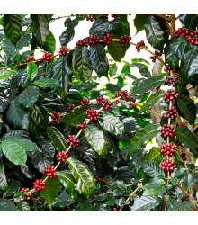 Kávovník arabský Himalaya - Coffea arabica- semena kávovníku - 5 ks