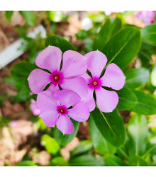 Barvínek Lavander F1 - Catharanthus - semena barvínku - 30 ks