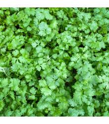 BIO koriandr Caribe - Coriandrum sativum - bio semena koriandru - 50 ks