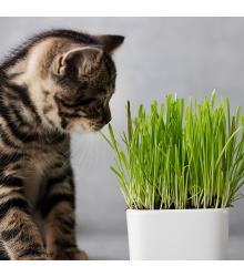 Tráva pro kočky - semena trávy pro kočky - Triticum aestivum - 100 ks