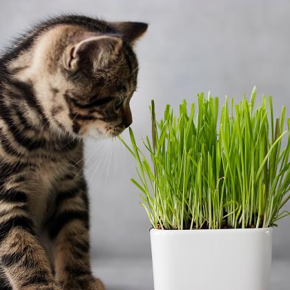 Tráva pro kočky- semena trávy pro kočky - 100 ks
