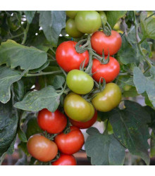 Rajče Crimson Crush F1 - Lycopersicon Esculentum - semena rajčat - 7 ks