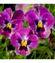 Violka rohatá Sorbet Carmine - Viola cornuta - prodej semen - 20 ks