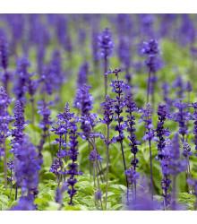 Šalvěj luční - Salvia pratensis - osivo šalvěje - 150 ks